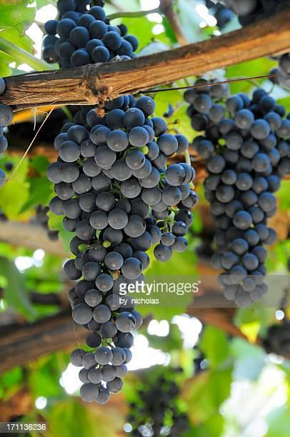 uvas series - uvas cabernet sauvignon - fotografias e filmes do acervo