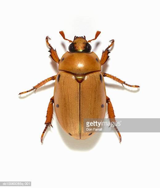 Grapevine beetle (Pelidnota punctata) on white background, overhead view