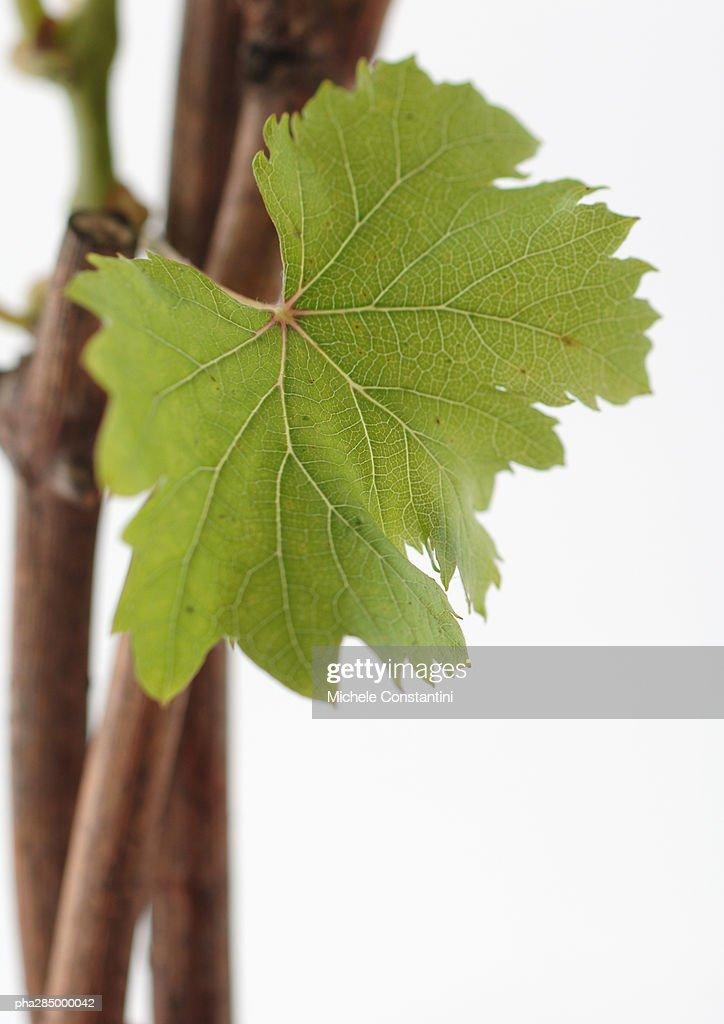 Grapevine, close-up : Stockfoto