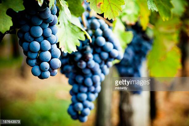 grapevine in autumn - druif stockfoto's en -beelden