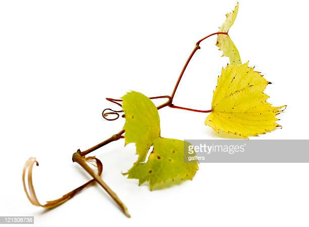 grapevine - grape leaf stock pictures, royalty-free photos & images