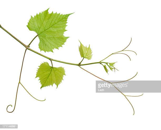 grapevine - vine plant stock photos and pictures