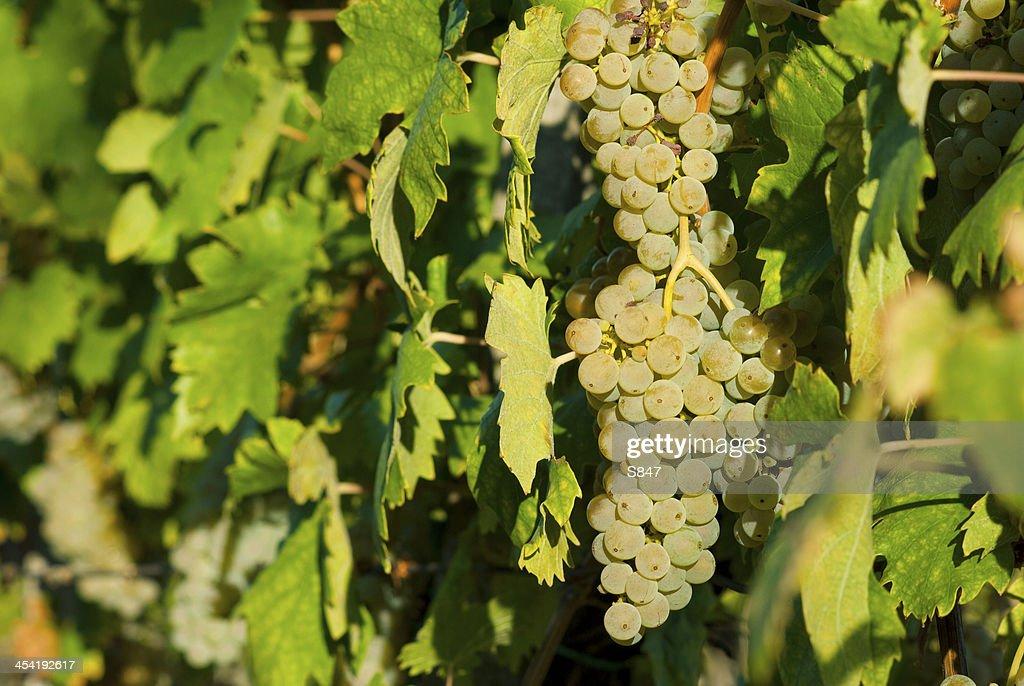 Grapevine : Stock-Foto