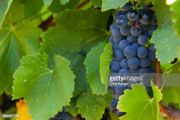 grapevine - chris putnam stock pictures, royalty-free photos & images