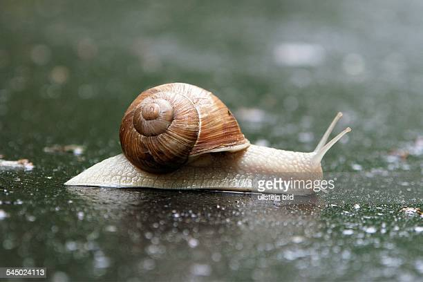 grapevine snail large garden snail