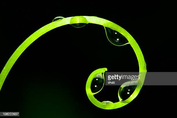 Grapevine tendril with water droplets