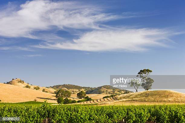 Grapevines and rolling hills in the Barossa Valley