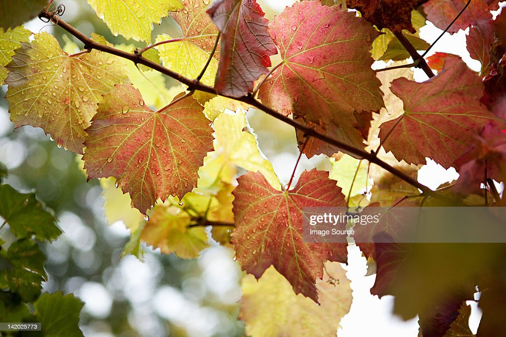 Grapevines, Franschhoek, South Africa : Stock Photo