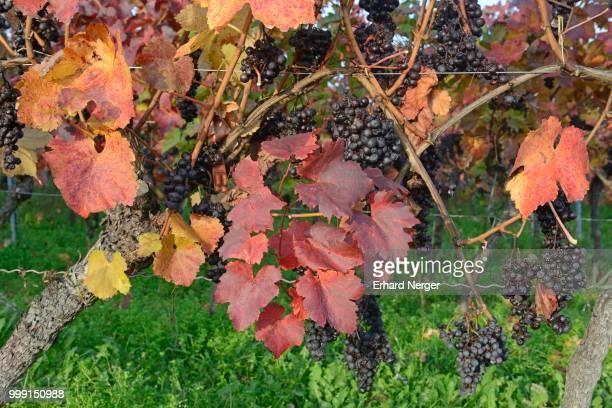 Grapevines (Vitis vinifera), Neustadt an der Weinstrasse, Rhineland-Palatinate, Germany