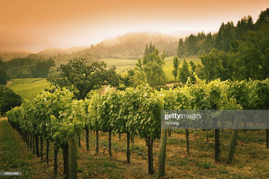 Grapevines Vineyard Sunset Landscape in Napa Valley Winery in California : Stock Photo