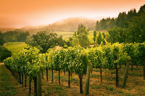 Vineyard of Napa Valley in the Morning