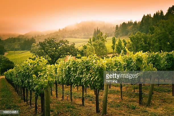 Viñedo Grapevines atardecer paisaje en Bodega del Valle de Napa en California.