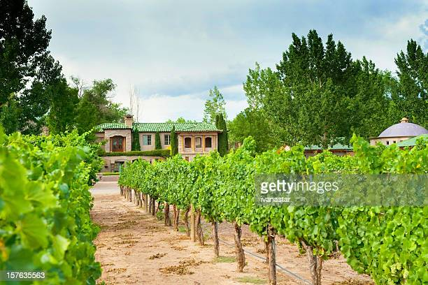grapewines in casa rodena vineyard - cabernet sauvignon grape stock photos and pictures