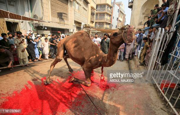Graphic content / Muslims watch the sacrifice of a camel during the Eid alAdha festival in Peshawar on August 12 2019 Muslims around the world are...