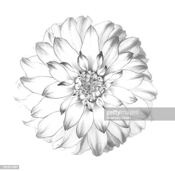 Flower drawing stock photos and pictures getty images graphic representation of dahlia in black white mightylinksfo