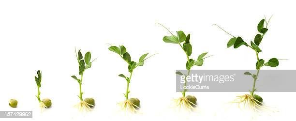 graphic shows development of pea plant from when it sprouts - seedling stock pictures, royalty-free photos & images
