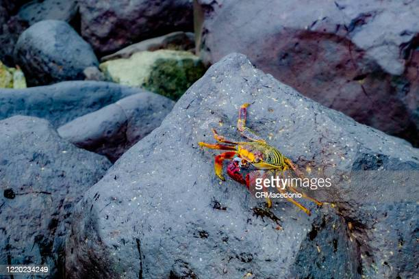 grapsus grapsus is one of the most common crabs along the western coast of the americas - crmacedonio stock pictures, royalty-free photos & images