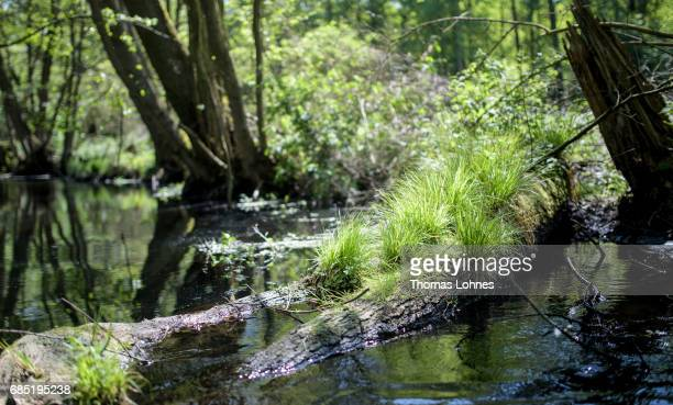 Gras grows at an old trunk of a tree at the creek 'Loecknitz' in Brandenburg state on May 19 2017 near Erkner Germany Brandenburg with its multitude...