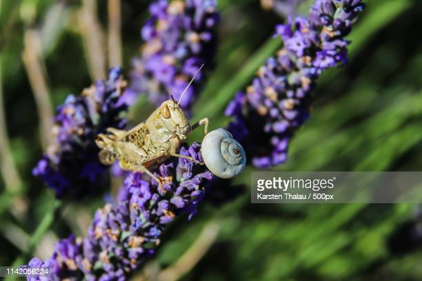 gras hopper at lavender - gras stock pictures, royalty-free photos & images