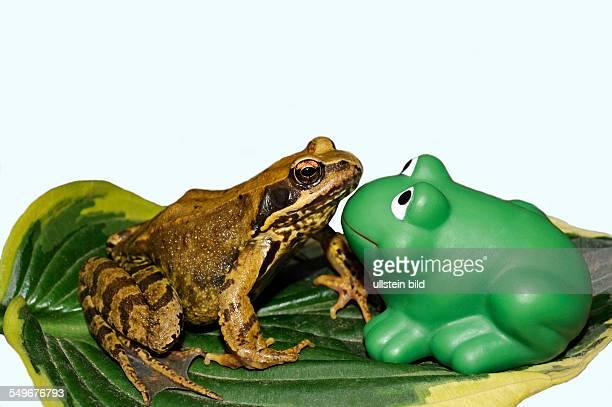 Grasfrosch begegnet Plastikfrosch