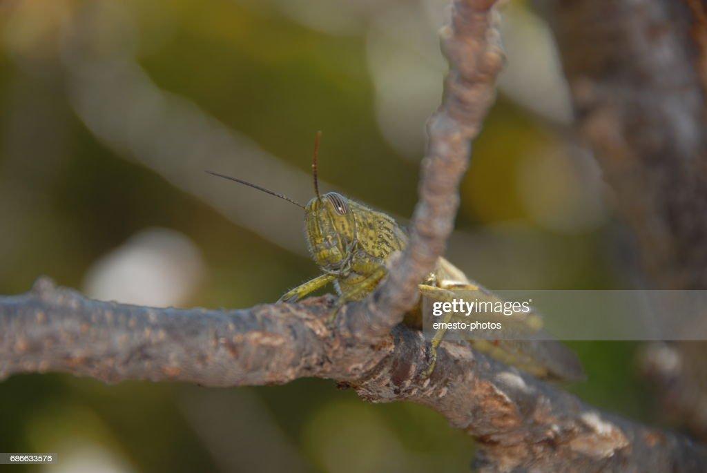 Grashüpferheuschrecke Auf Einem Aprikosenbaum Spanien Stock Photo