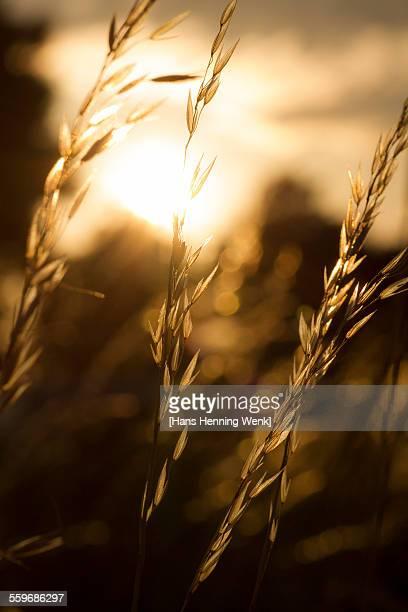 Grass against setting sun
