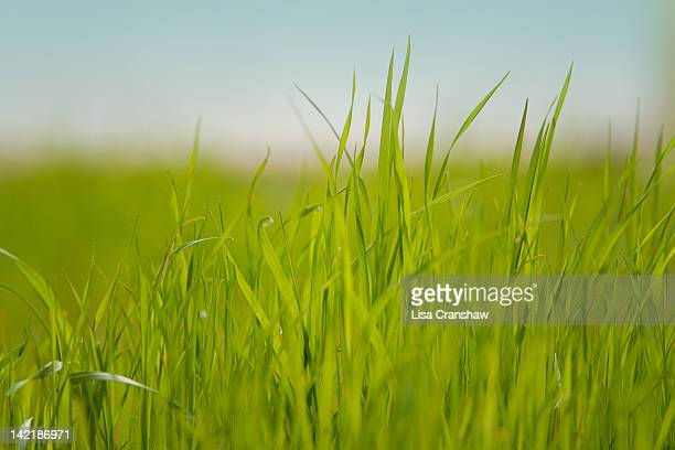 grass always greener ... - lisa cranshaw stock pictures, royalty-free photos & images