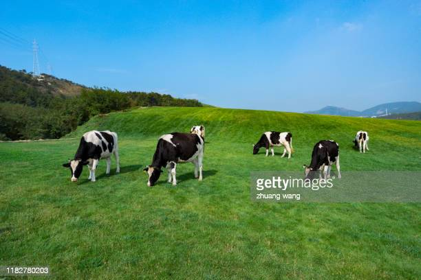 grass and cows - pasture stock pictures, royalty-free photos & images