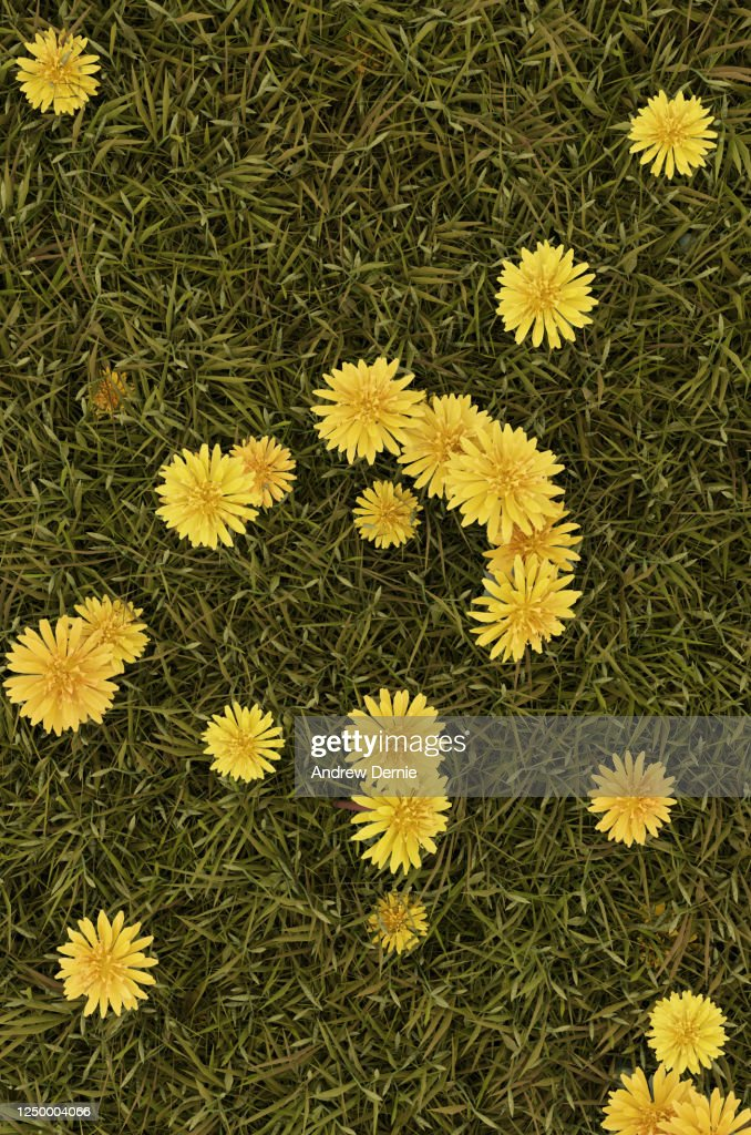 Grass and Dandelions viewed from the above, full frame : Stock Photo