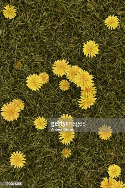 grass and dandelions viewed from the above, full frame - andrew dernie stock pictures, royalty-free photos & images