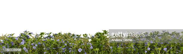grass and speedwell viewed from the side, isolated on a white background 3d render - andrew dernie stock pictures, royalty-free photos & images