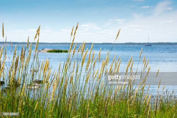 grass at sea - reed grass family stock photos and pictures