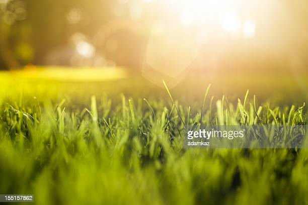 Grass Background at Sunset
