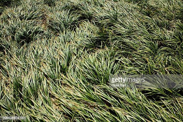 grass, elevated view - barr stock pictures, royalty-free photos & images