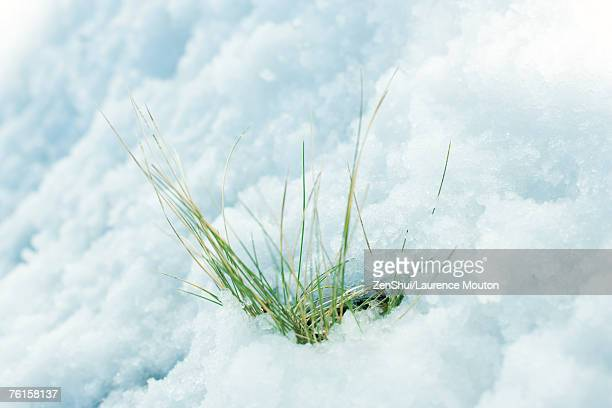 Grass emerging through snow
