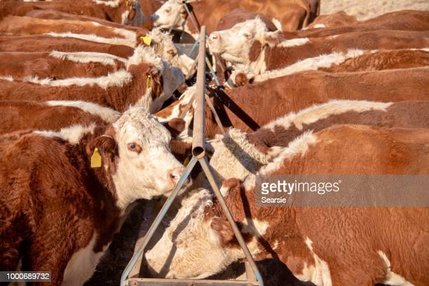 grass fed beef cattle heifers feeding from trough during drought - grazing stock pictures, royalty-free photos & images