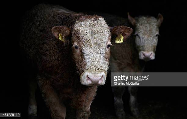 Grass fed yearlings on Raymond Palmer's beef cattle farm on January 9 2015 in Lifford Ireland Irish beef has been approved for sale in the United...