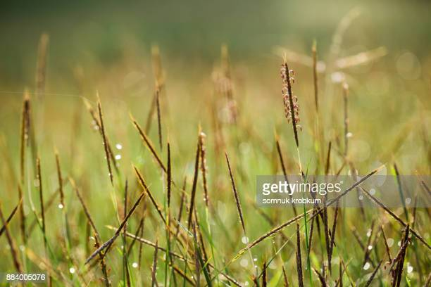 Grass field with dew in morning