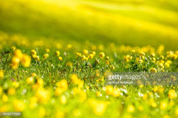 grass flower field in summer - pollen stock pictures, royalty-free photos & images