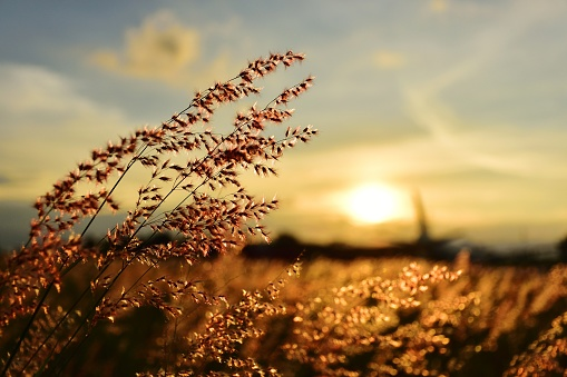 grass flower 1147335712
