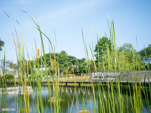 Grass Growing By River Against Sky