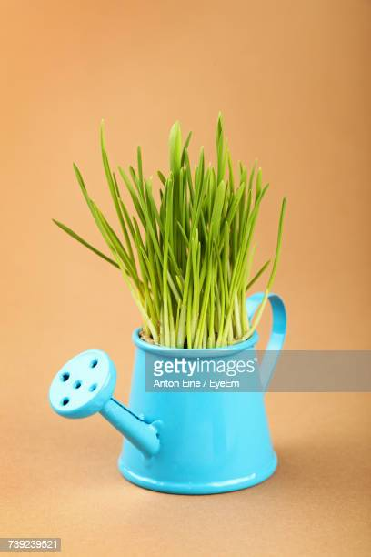 Grass Growing In Blue Watering Can Against Brown Background