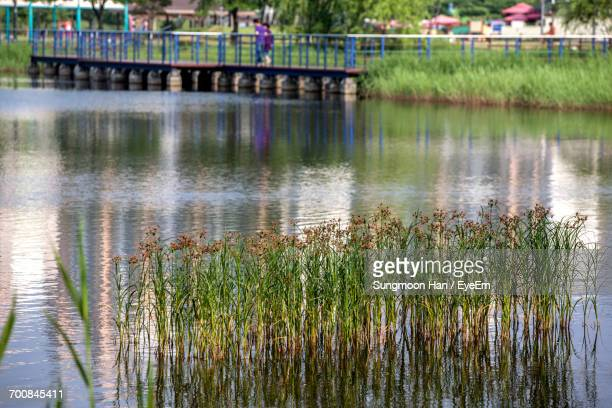 grass growing in lake against footbridge at park - bucheon stock pictures, royalty-free photos & images