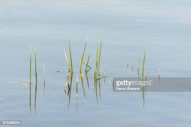 grass growing in water - renzo gherardi stock photos and pictures