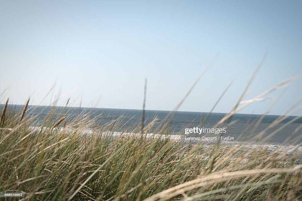 Grass Growing On Beach By Sea Against Clear Sky : Stock Photo