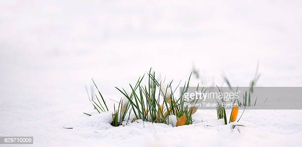 Grass Growing On Snowcapped Field During Winter
