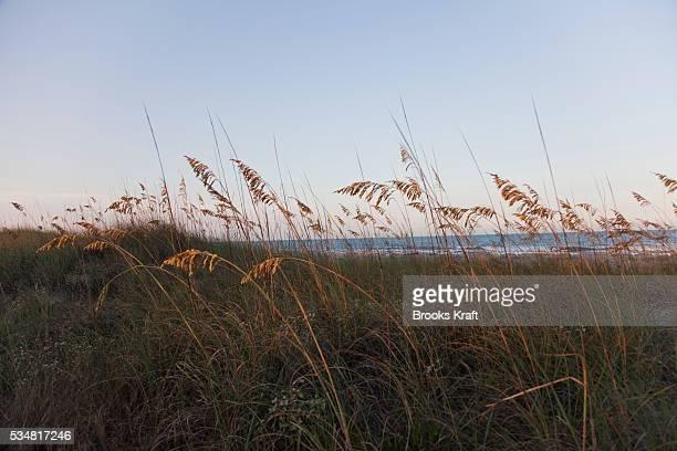 Grass grows on beach dunes on Amelia Island Florida