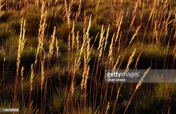 Grass heads highlighted by the sun.