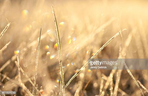 Grass in morning frost