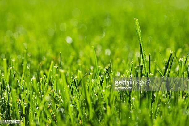Grass in spring morning